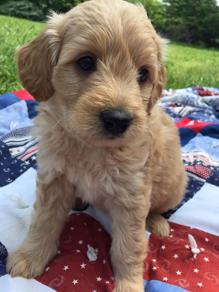 Goldendoodle puppy from Cherry Creek Doodles in Central NY